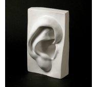 Drawing Plaster Cast Ear