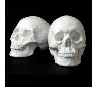Drawing Plaster Cast Skull Set (Male/Female)